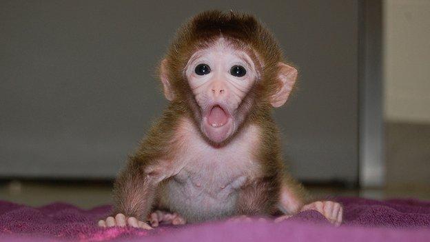 First `mixed embryo` monkeys born