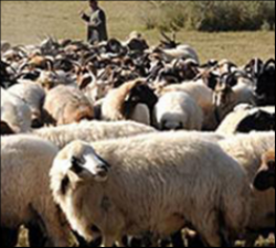 Georgian party denied information about diseased sheep transportation to Turkey
