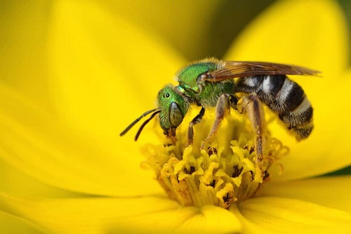Doctor finds four sweat bees living inside womans eye