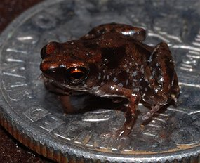 World`s smallest frog discovered