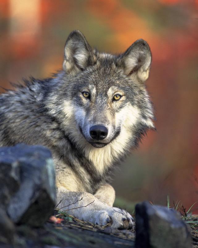 Wolves intrude into several villages in Samegrelo