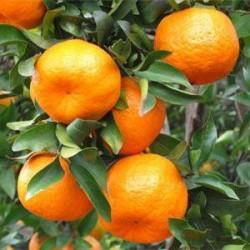Mandarin export lessens from Abkhazia to Russia